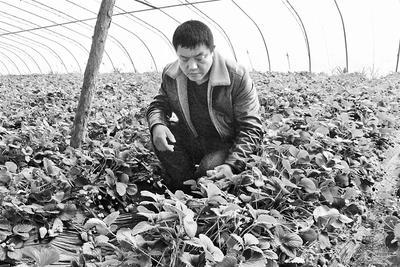 小草莓进京记——在昌黎县郝宋庄村